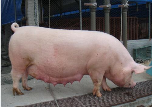 妊娠后期母猪攻胎新思维
