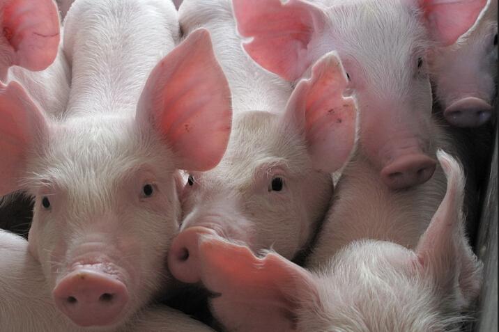 97%的仔猪成活率是如何炼成的?