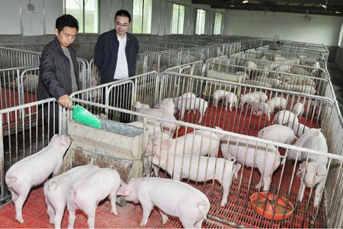 秋冬季节保育猪的饲养管理要点
