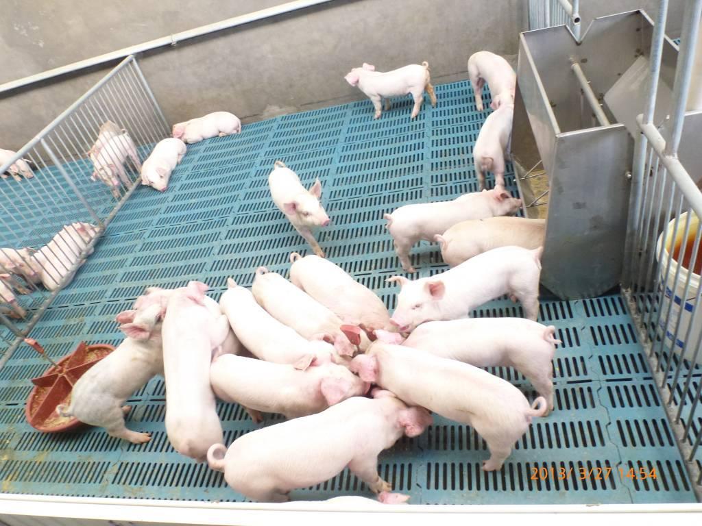 保育猪早期护理中饲料营养管理