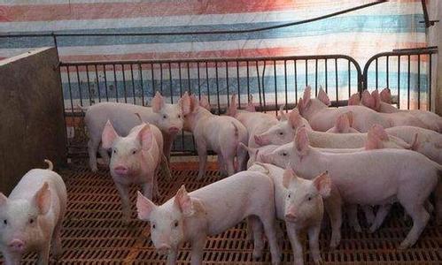 断奶仔猪粪便,是仔猪健康的第一信号