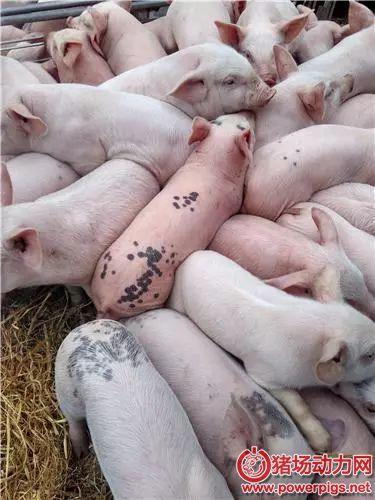 怎样挑选好的猪苗