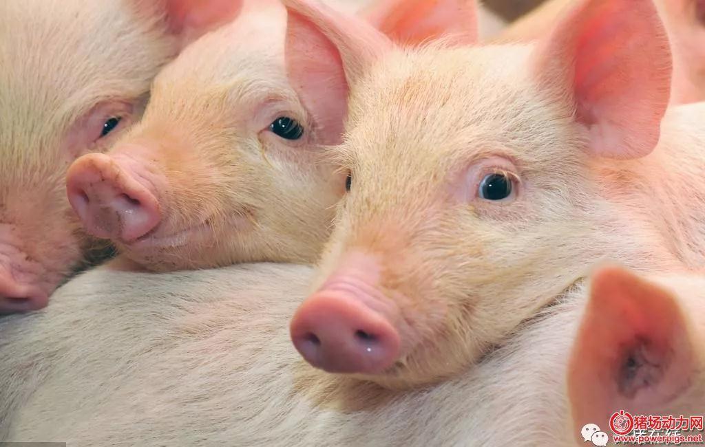 为何保育猪容易消瘦喘气?这三大原因你中了几条