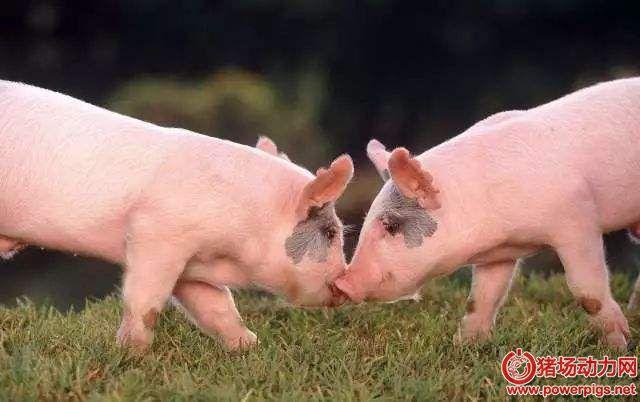 保育仔猪的16个管理关键点!