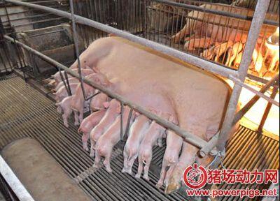 哺乳母猪饲喂新策略