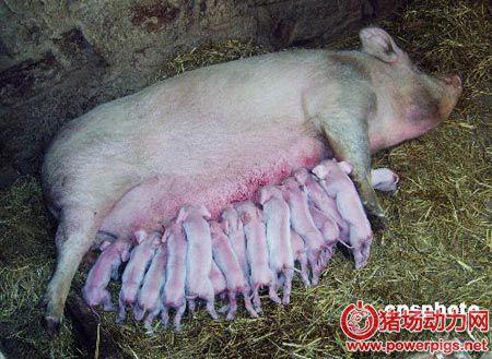 仔猪奶源性腹泻和母猪奶水关系分析