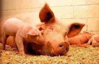 母猪产后的重点工作及出现异常情况的防治