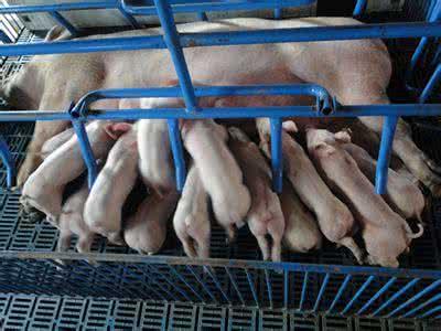 掌握好分娩舍十二大饲养管理细节,轻松养好母猪