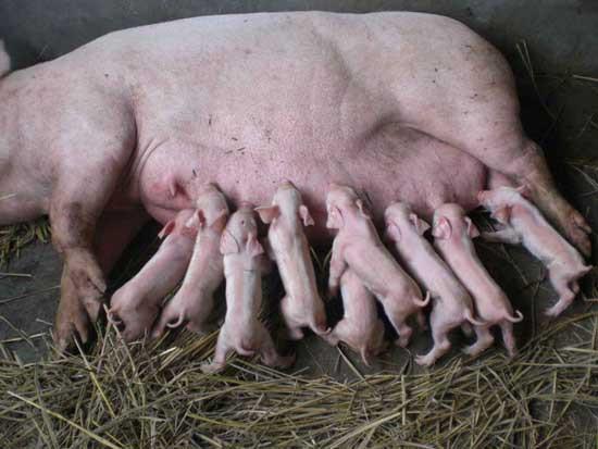 初产母猪咬仔猪怎么办,看这位养猪人的奇招