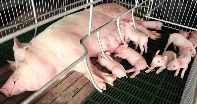 母猪围产期减料是错误的。