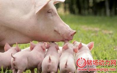 针对母猪拒哺、咬仔,最全解决方案都在这里