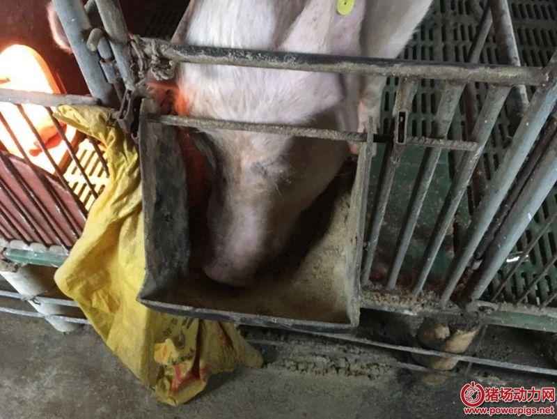妊娠、分娩母猪的饲养管理要点