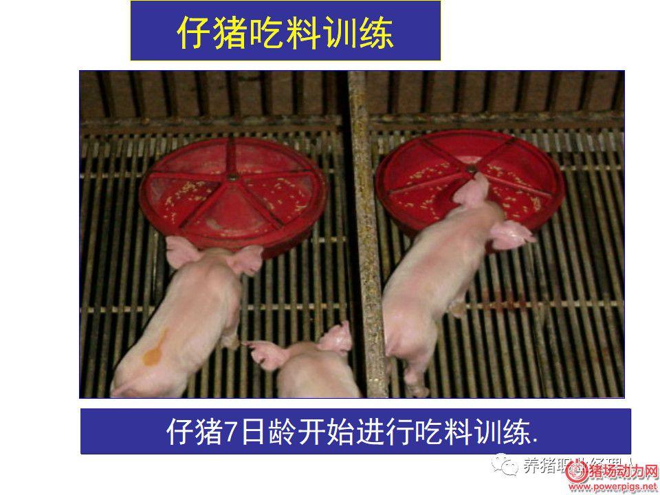 太全面!哺乳母猪的饲养管理