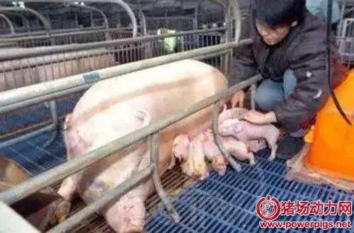 这些母猪人工助产2018最新博彩白菜大全,你做到几点?