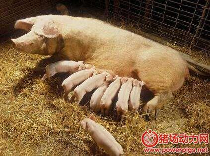 了解了引起母猪产后不食的6个类型,才能对症治疗!