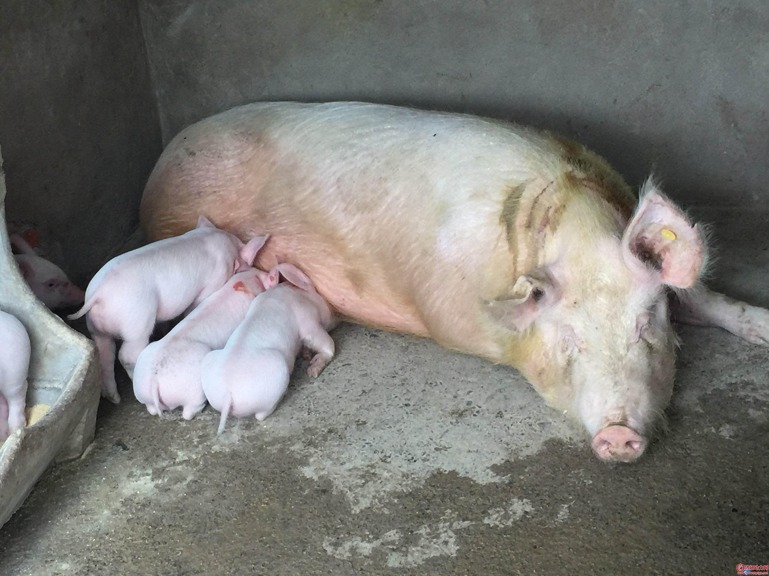 母猪产后瘫痪了,怎么办?
