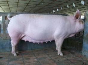 干奶和妊娠母猪的猪舍系统