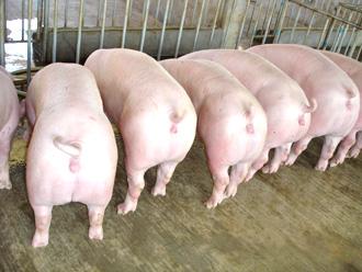 后备二元母猪为何难配孕难?