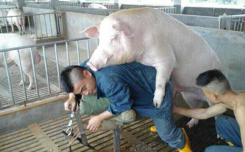 如何抓住母猪的最佳配种时期