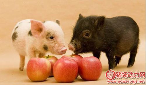 乳猪初期阶段疫病的防治措施