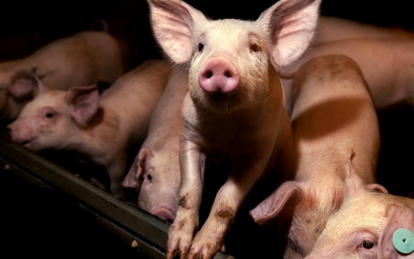 提高仔猪成活率就是赚钱