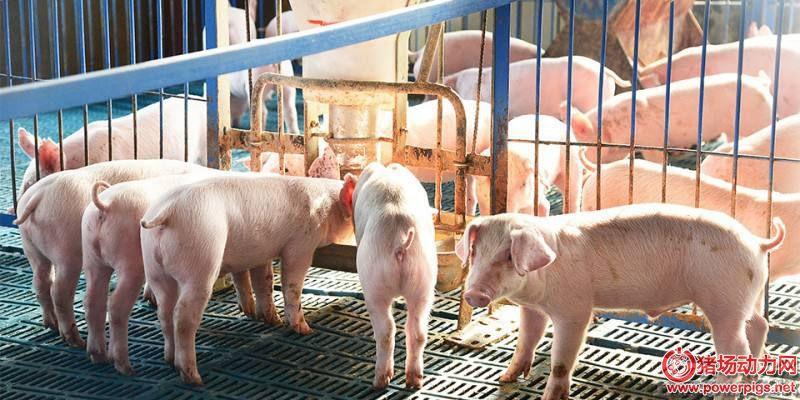 方法盘点之如何让仔猪快速学会吃料