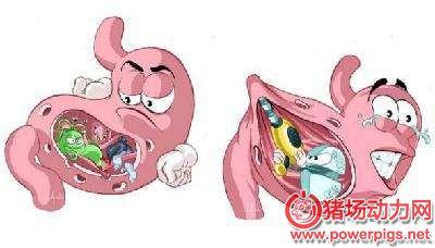 猪胃溃疡知多少(原因、症状、诊断、治疗、预防)