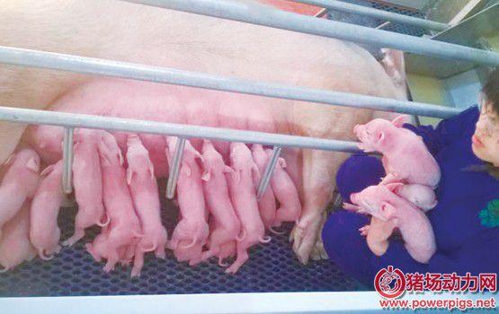 【干货】紧急救治假死小猪的七个步骤,你做对了吗?