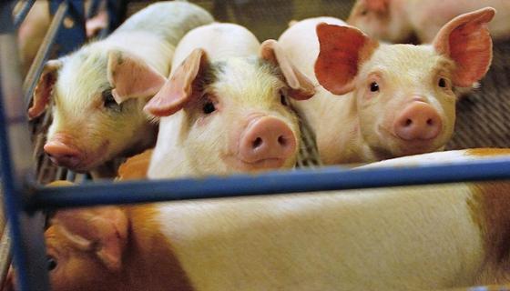 哺乳仔猪的饲养管理