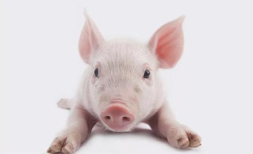 仔猪保健常见三大误区