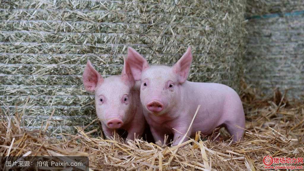 仔猪寄养的注意事项、原则和误区,有效提高仔猪成活率!