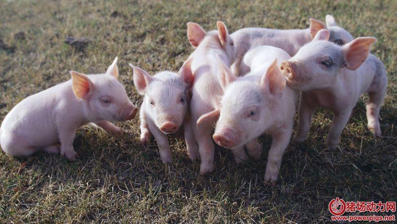 哺乳仔猪寄养成败的关键