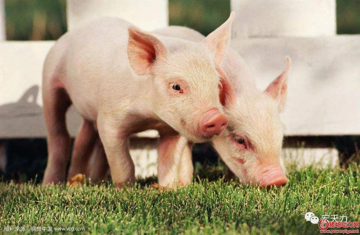 产房仔猪护理误区