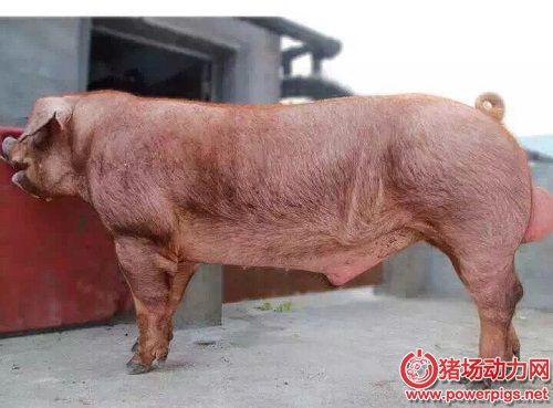 种猪的人工授精――采精