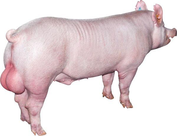 要想母猪高产,种公猪的这些饲养要点必须知道!