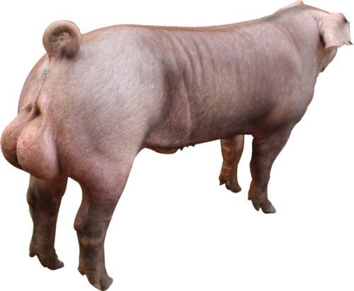 让您淘汰种公猪不再纠结的方法全在这儿!