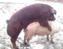 训练公猪爬跨假母猪的方法