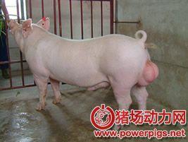 后备公猪的调教