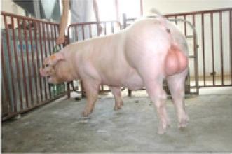 后备公猪的饲养管理以及调教措施