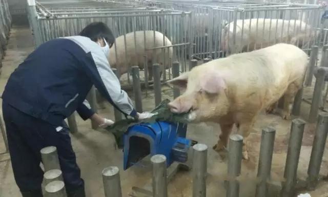 青年公猪12种调教方法,总有1种适合你的猪场