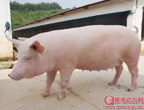 后备母猪初情期的管理