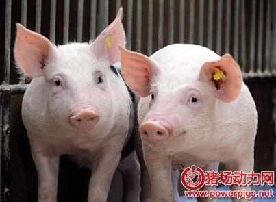 猪病学学习笔记:后备母猪不发情是咋了?