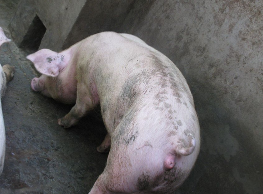 浅谈后备母猪的战略性管理