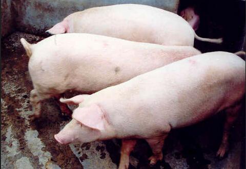 后备母猪的引进与驯化