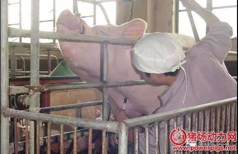种猪过渡期饲养管理关键要点