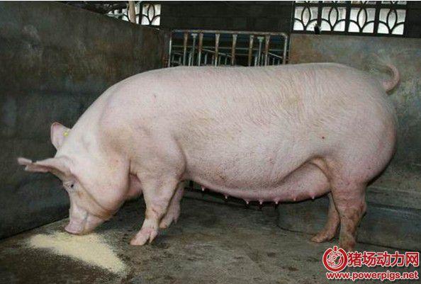后备猪驯化与诱情