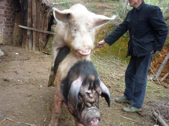 后备母猪初情诱导阶段管理技术