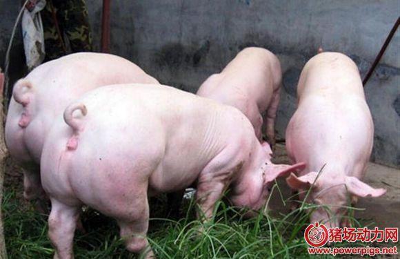 后备母猪背膘厚与初情期的关系