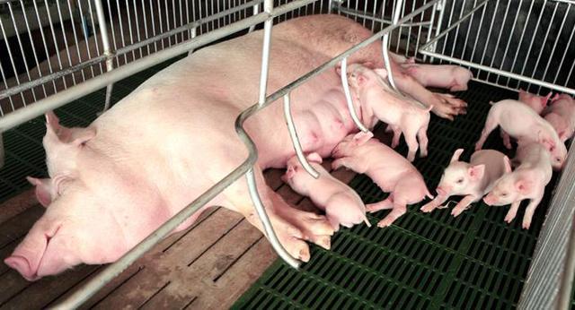 母猪生殖系统.jpg