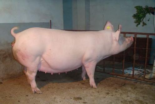 母猪生殖系统炎症千万不要小觑,不然后悔都来不及!